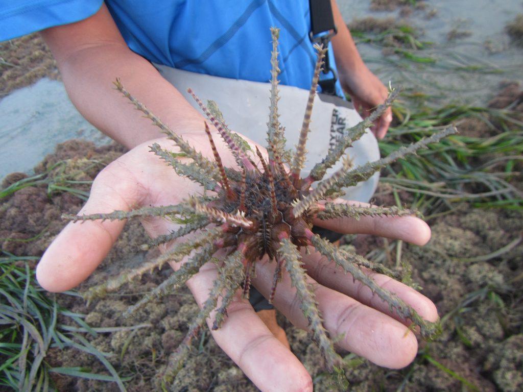 Thorny Armour, Soft Centre – Pencil Sea Urchins